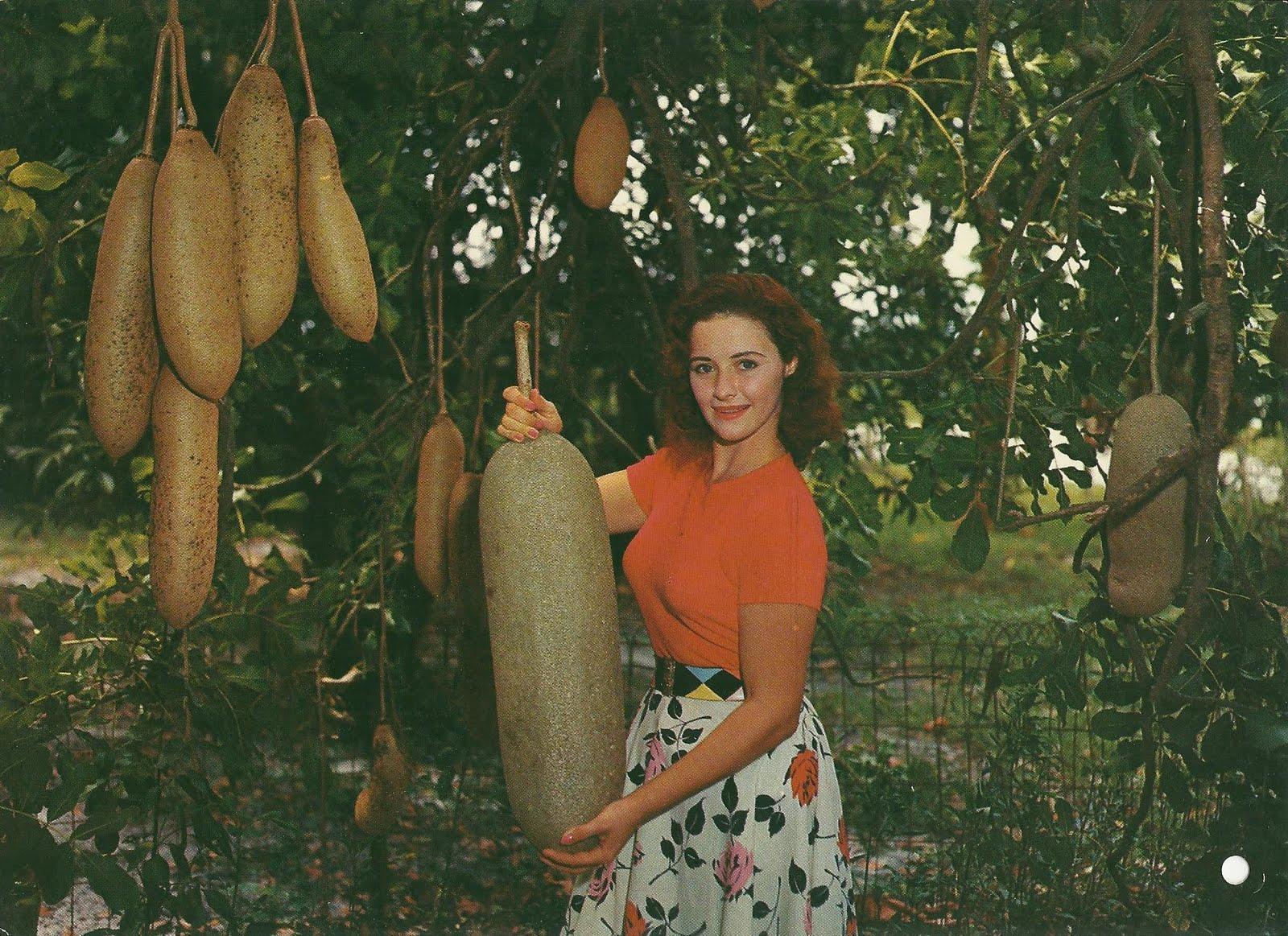 Naam:     sausage_tree_fruits.jpg Bekeken:  432 Groote:   460,9 KB